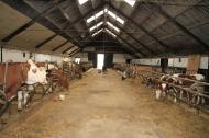 Koeienstal van Zorgboerderij De Boerderijn