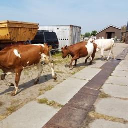 koeien 2