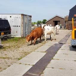 koeien 3
