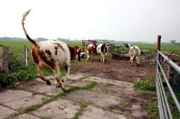 Koeien weer lekker naar buiten