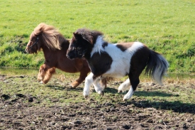 De pony's