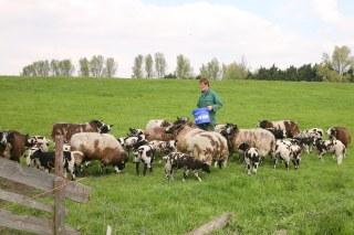 John tussen de koeien