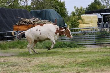 Koe springen