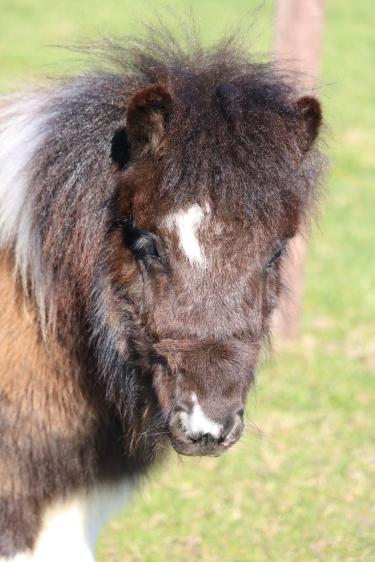 Mini pony Dikkie Dik